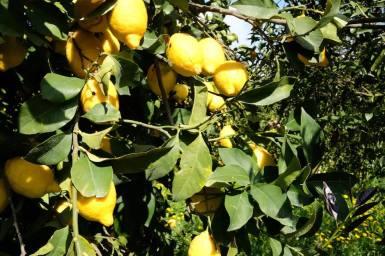 piero limoni
